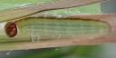 e-コキマダラセセリ4齢幼虫15mm-2019-08-21-Tg510277