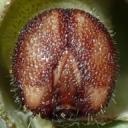 e-コキマダラセセリ4齢幼虫15mm頭部-2019-08-21-Tg510276