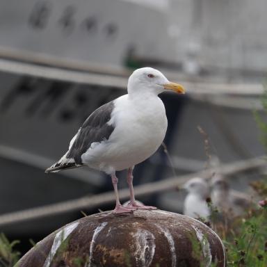 f-オオセグロカモメ-2019-09-05小樽-M1050500