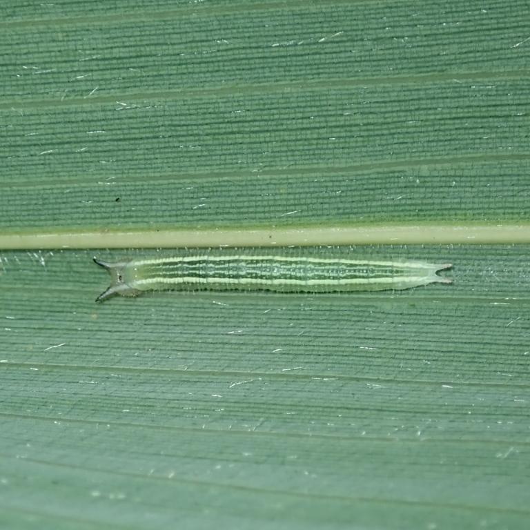 f-クロヒカゲ幼虫11mm-2019-09-13mk-Tg530539