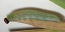 e-コキマダラセセリ5齢幼虫28mm-2019-09-05-Tg550457