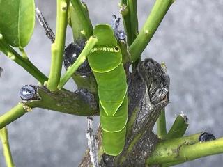 アゲハの幼虫04