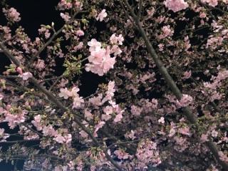 河津桜02