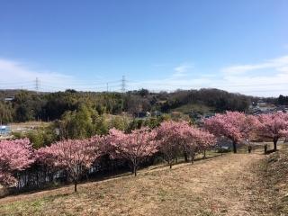 坂浜の河津桜_03