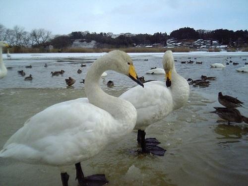 Swan_cygnus_2019110916394969e.jpg