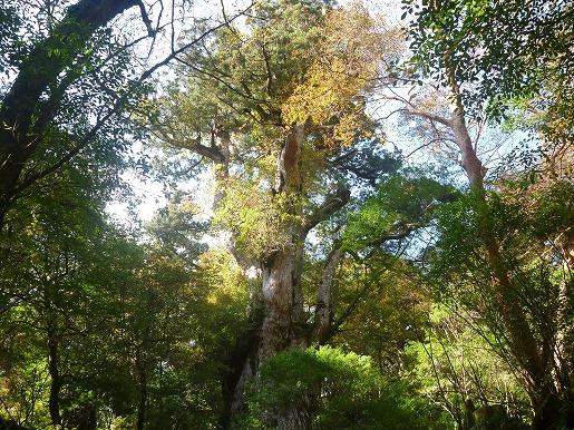 縄文杉周辺の紅葉