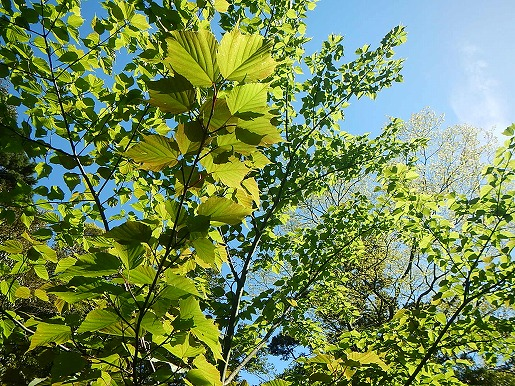 ヤクシマオナガカエデの新緑