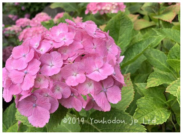遊歩道の紫陽花